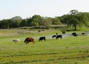 Cow wanderlust
