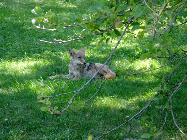 coyote-in-front-yard