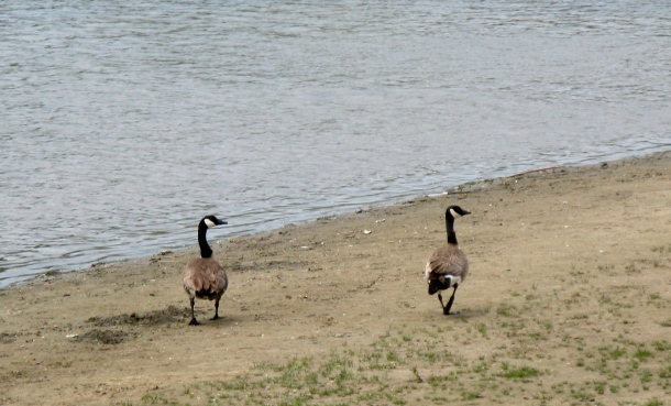 Geese-by-river