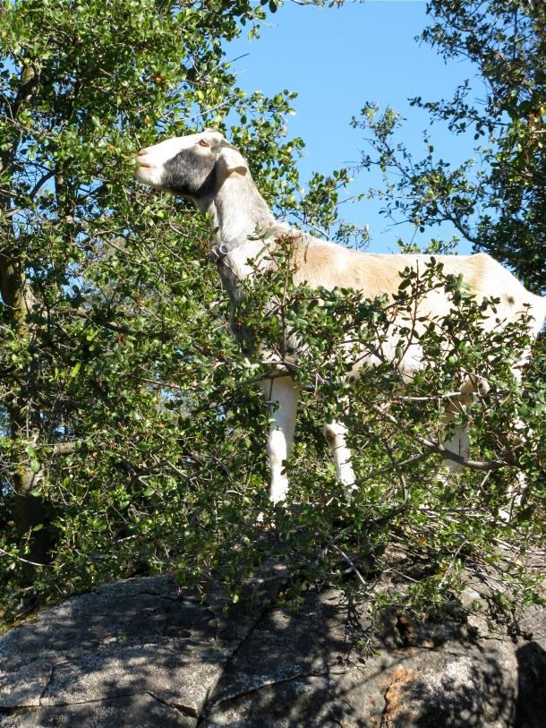 Goat Ben