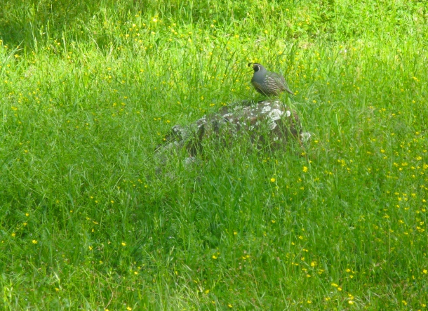 Quail-in-meadow