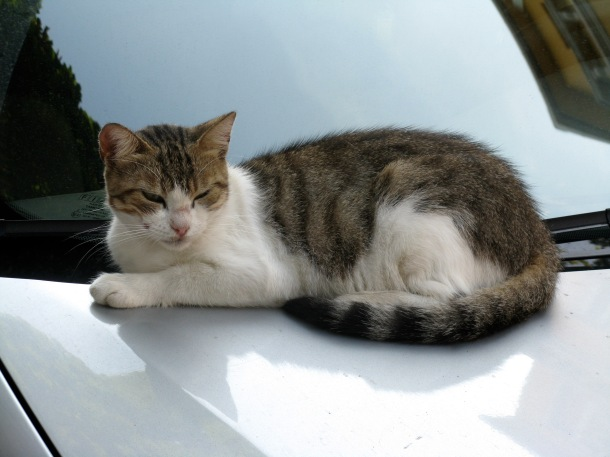 Cat-on-car