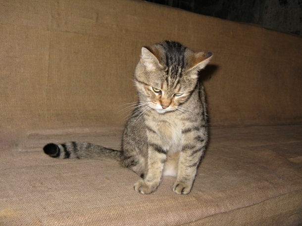 Cute-tabby-cat