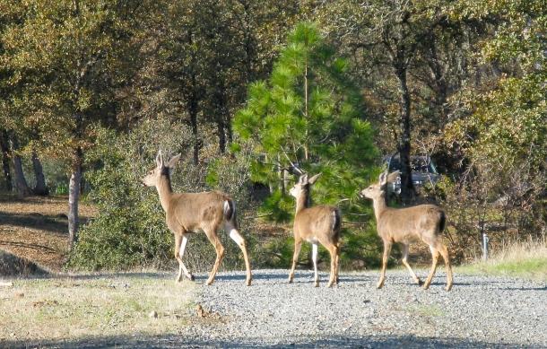 deer-on-driveway