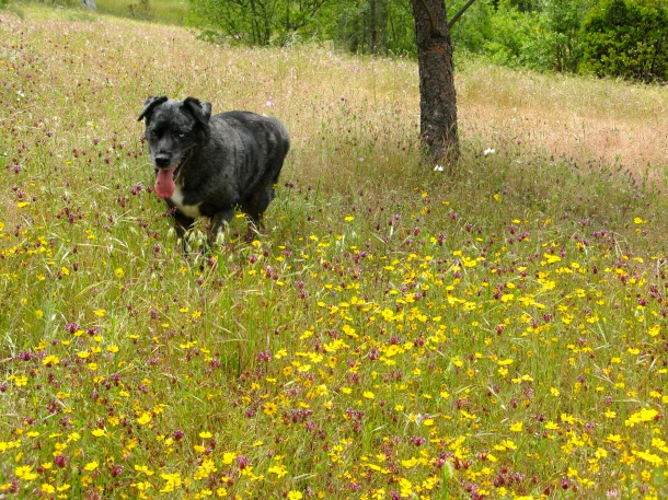 dog-and-wildflowers