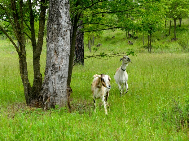 goats-in-field
