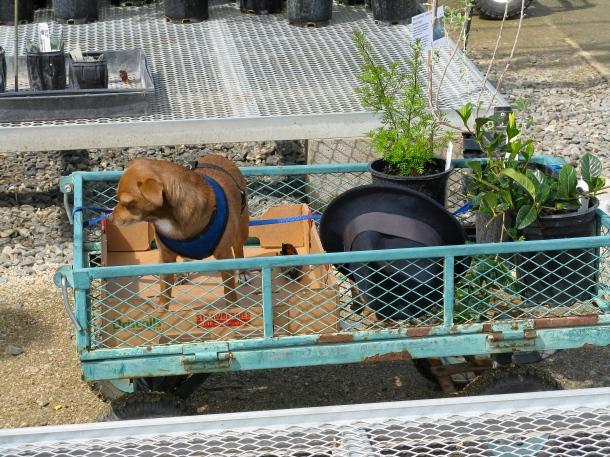 dog-in-a-cart