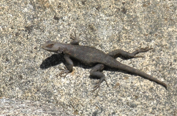 lizard-on-rock