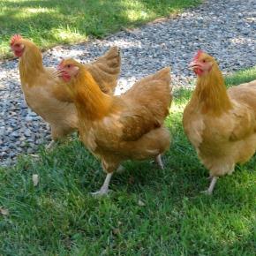 Hens and Handel