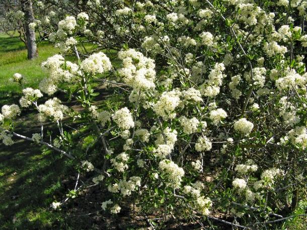 flowering-buckbrush