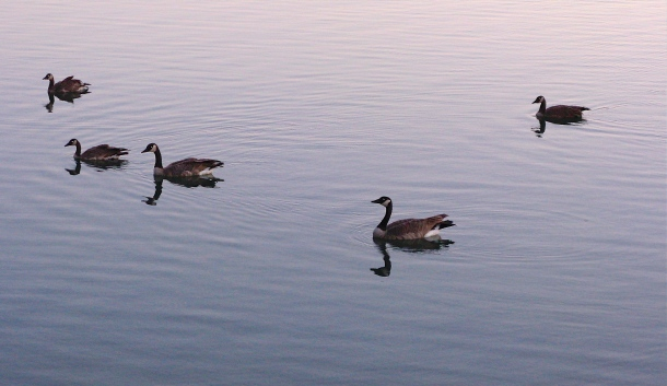 geese-on-a-lake