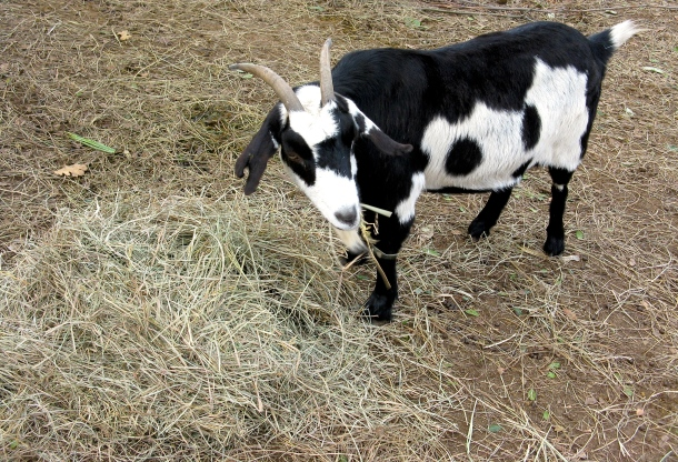 Betty goat