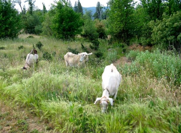 goats-grazing
