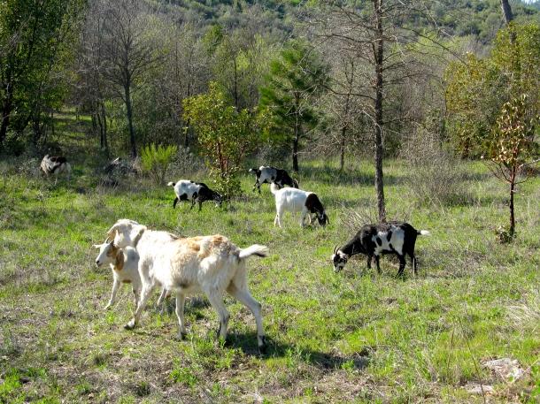 goat-herd