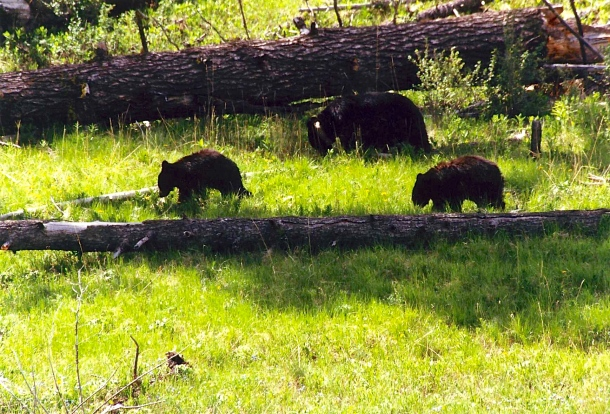 mother-bear-and-two-cubs